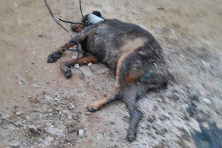 cloacas-perro muerto
